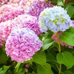 Hạt giống hoa cẩm tú cầu