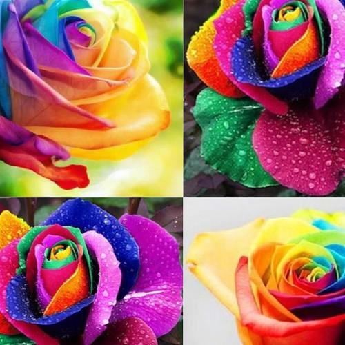 Hạt giống hoa hồng bảy màu