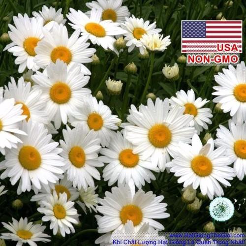 100h Hạt Giống Hoa Cúc Mắt - OxEye 50cm Chrysanthemum