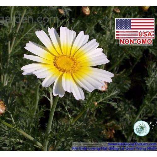 100h Hạt Giống Hoa Cúc Mặt Trời - Garland 75cm Chrysanthemum
