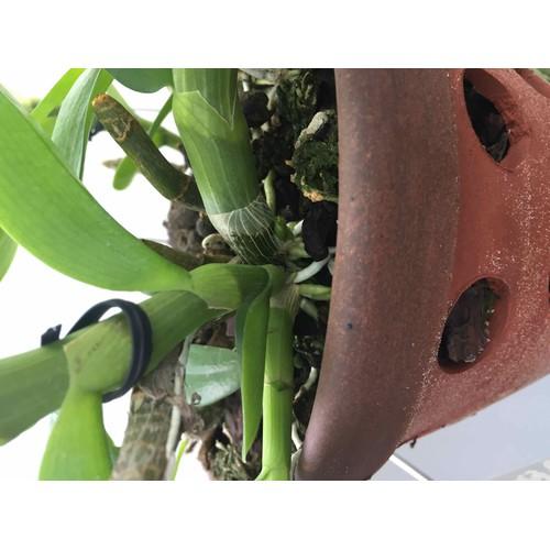 Phân bón hữu cơ cho hoa Lan - sản phẩm của Mỹ