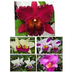 5 cây hoa phong lan catleya