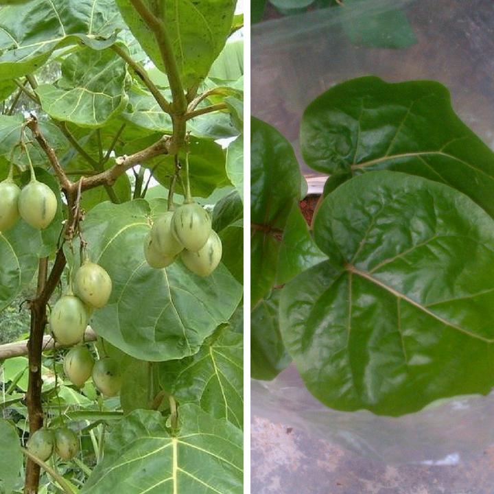 Cây cà chua thân gỗ lớn