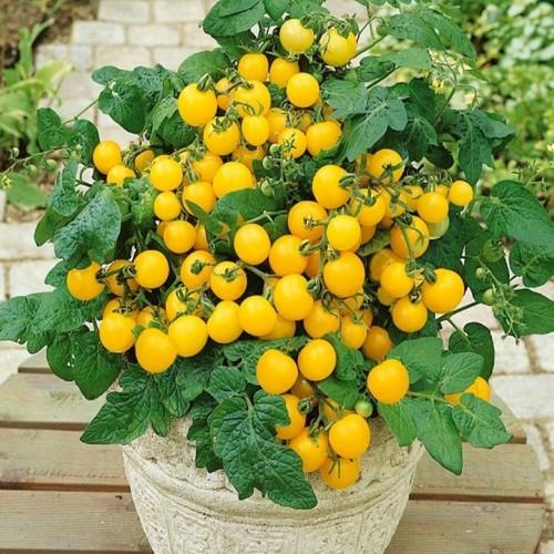 Hạt giống cà chua bi vàng 100 hạt