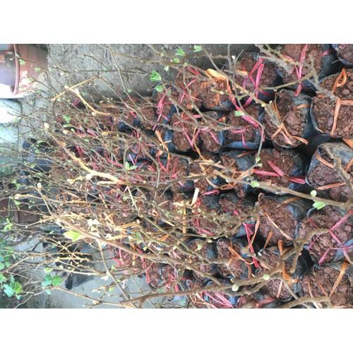 combo 2 cây kiwy vàng
