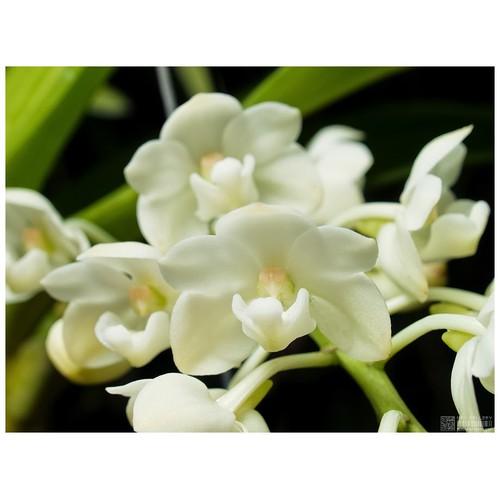 Hoa lan cây giống ngọc điểm hoa trắng