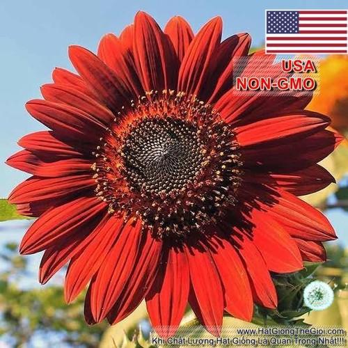 30h Hạt Giống Hoa Hướng Dương Đỏ - Velve Helianthus annuus