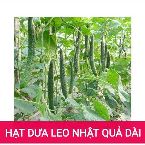 HẠT GIỐNG DƯA LEO NHẬT