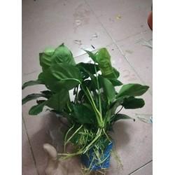 Cây thủy sinh Ráy lá đại - Cây thủy sinh dễ trồng dễ chăm sóc
