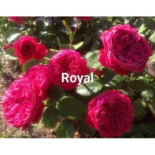 Combo 10 cây hồng giống ngoại hoa to đẹp nhiều màu lạ