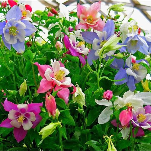 Hạt giống hoa cỏ bồ câu titanic mix và Tài liệu HD cách gieo trồng - 6344339 , 12943485 , 15_12943485 , 14000 , Hat-giong-hoa-co-bo-cau-titanic-mix-va-Tai-lieu-HD-cach-gieo-trong-15_12943485 , sendo.vn , Hạt giống hoa cỏ bồ câu titanic mix và Tài liệu HD cách gieo trồng