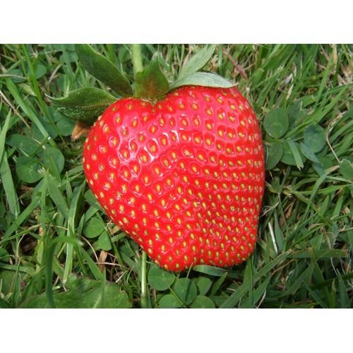 Hạt giống cây dâu tây khổng lồ - Tài liệu HD cách gieo trồng - 6345669 , 12945389 , 15_12945389 , 17000 , Hat-giong-cay-dau-tay-khong-lo-Tai-lieu-HD-cach-gieo-trong-15_12945389 , sendo.vn , Hạt giống cây dâu tây khổng lồ - Tài liệu HD cách gieo trồng