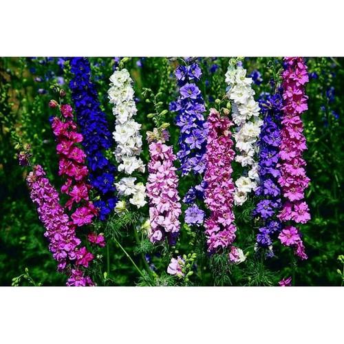 Hạt giống hoa phi yến mix và Tài liệu HD cách gieo trồng - 6359880 , 12965471 , 15_12965471 , 15500 , Hat-giong-hoa-phi-yen-mix-va-Tai-lieu-HD-cach-gieo-trong-15_12965471 , sendo.vn , Hạt giống hoa phi yến mix và Tài liệu HD cách gieo trồng