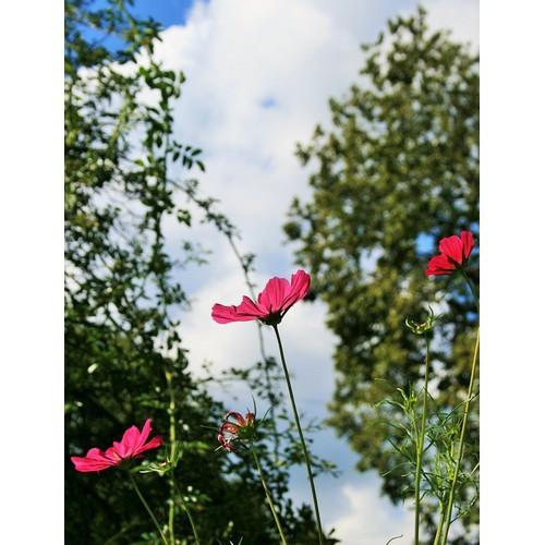 Hạt giống hoa Vũ trụ vườn - Tài liệu HD cách gieo trồng - 6361656 , 12968060 , 15_12968060 , 11500 , Hat-giong-hoa-Vu-tru-vuon-Tai-lieu-HD-cach-gieo-trong-15_12968060 , sendo.vn , Hạt giống hoa Vũ trụ vườn - Tài liệu HD cách gieo trồng