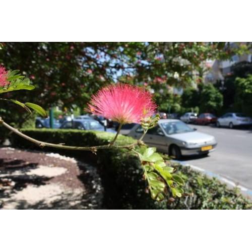 Hạt giống hoa hợp hoan kiểng - Tài liệu HD cách gieo trồng