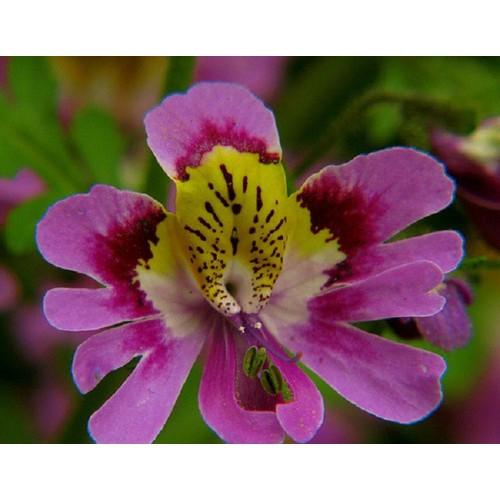Hạt giống hoa nga điệp - Tài liệu HD cách gieo trồng