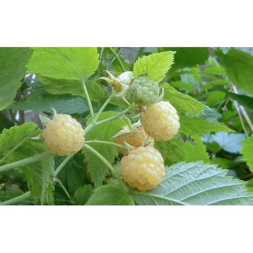 Hạt giống cây mâm xôi vàng và Tài liệu HD cách gieo trồng - 6361638 , 12968025 , 15_12968025 , 16500 , Hat-giong-cay-mam-xoi-vang-va-Tai-lieu-HD-cach-gieo-trong-15_12968025 , sendo.vn , Hạt giống cây mâm xôi vàng và Tài liệu HD cách gieo trồng