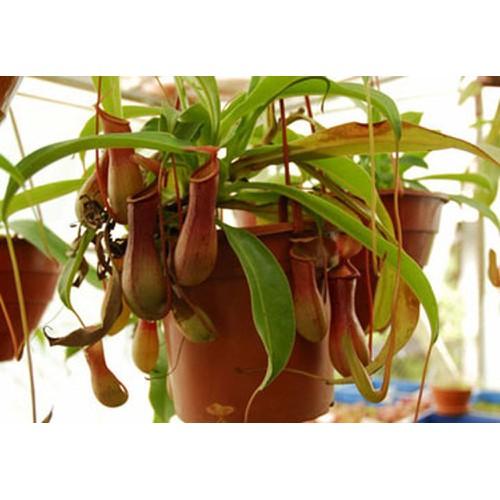 Hạt giống cây nắp ấm và Tài liệu HD cách gieo trồng - 6362031 , 12968417 , 15_12968417 , 22000 , Hat-giong-cay-nap-am-va-Tai-lieu-HD-cach-gieo-trong-15_12968417 , sendo.vn , Hạt giống cây nắp ấm và Tài liệu HD cách gieo trồng