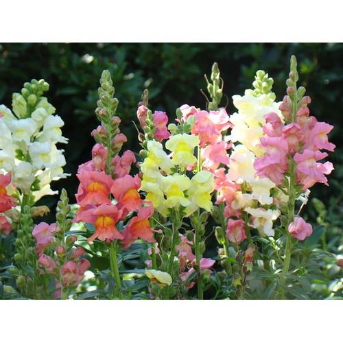Hạt giống hoa mõm sói mix và Tài liệu HD cách gieo trồng - 4463897 , 12964999 , 15_12964999 , 13500 , Hat-giong-hoa-mom-soi-mix-va-Tai-lieu-HD-cach-gieo-trong-15_12964999 , sendo.vn , Hạt giống hoa mõm sói mix và Tài liệu HD cách gieo trồng