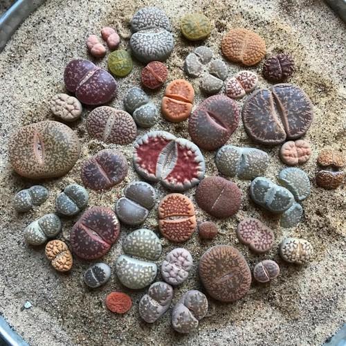 Hạt giống sỏi đá - Lipthop Thạch Lan
