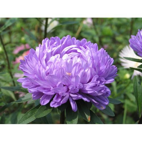 Hạt giống hoa cúc kim cương - Tài liệu HD cách gieo trồng - 6362760 , 12969034 , 15_12969034 , 22000 , Hat-giong-hoa-cuc-kim-cuong-Tai-lieu-HD-cach-gieo-trong-15_12969034 , sendo.vn , Hạt giống hoa cúc kim cương - Tài liệu HD cách gieo trồng