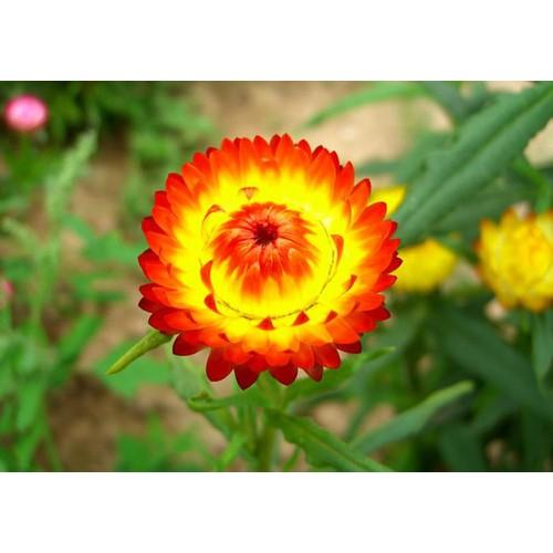 Hạt giống hoa cúc thiên nhân - Tài liệu HD cách gieo trồng - 6362821 , 12969142 , 15_12969142 , 14000 , Hat-giong-hoa-cuc-thien-nhan-Tai-lieu-HD-cach-gieo-trong-15_12969142 , sendo.vn , Hạt giống hoa cúc thiên nhân - Tài liệu HD cách gieo trồng