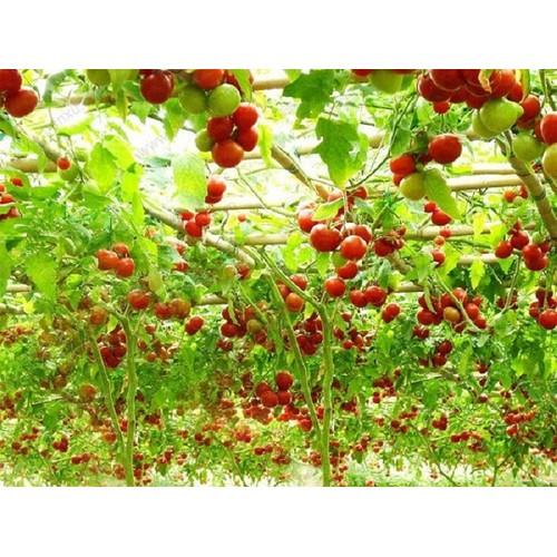 Hạt giống cà chua bạch tuộc - Tài liệu HD cách gieo trồng