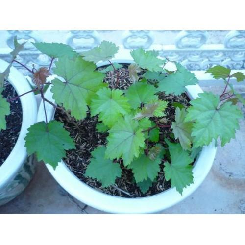 Hạt giống cây nho lùn pháp và Tài liệu HD cách gieo trồng - 6362411 , 12968737 , 15_12968737 , 12000 , Hat-giong-cay-nho-lun-phap-va-Tai-lieu-HD-cach-gieo-trong-15_12968737 , sendo.vn , Hạt giống cây nho lùn pháp và Tài liệu HD cách gieo trồng