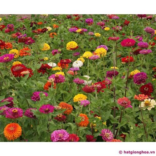 Hạt giống hoa cúc zinha thấp - Tài liệu HD cách gieo trồng - 6362849 , 12969195 , 15_12969195 , 26000 , Hat-giong-hoa-cuc-zinha-thap-Tai-lieu-HD-cach-gieo-trong-15_12969195 , sendo.vn , Hạt giống hoa cúc zinha thấp - Tài liệu HD cách gieo trồng