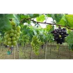 Hạt giống cây nho pháp và Tài liệu HD cách gieo trồng
