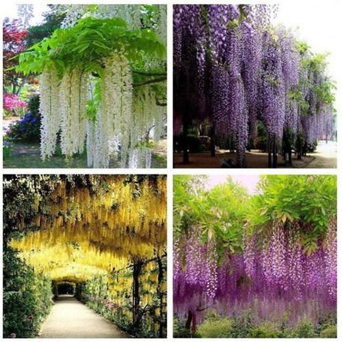 Combo 10 Cành hoa Fuji trang trí siêu đẹp -hoa tử đằng-hoa  giả dài 1.1m - 6550588 , 13205225 , 15_13205225 , 500000 , Combo-10-Canh-hoa-Fuji-trang-tri-sieu-dep-hoa-tu-dang-hoa-gia-dai-1.1m-15_13205225 , sendo.vn , Combo 10 Cành hoa Fuji trang trí siêu đẹp -hoa tử đằng-hoa  giả dài 1.1m