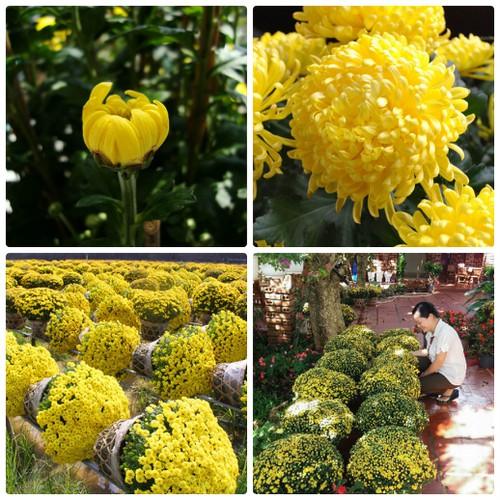 Hạt giống hoa cúc mâm xôi may mắn -100 hạt