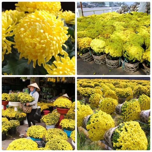 Hạt giống hoa cúc mâm xôi may mắn - 100 hạt