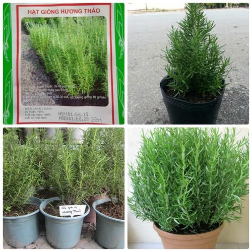COMBO 10 gói hạt giống cây hương thảo  LUCKY SEEDS TẶNG 1 phân bón - 6167389 , 12718921 , 15_12718921 , 189000 , COMBO-10-goi-hat-giong-cay-huong-thao-LUCKY-SEEDS-TANG-1-phan-bon-15_12718921 , sendo.vn , COMBO 10 gói hạt giống cây hương thảo  LUCKY SEEDS TẶNG 1 phân bón