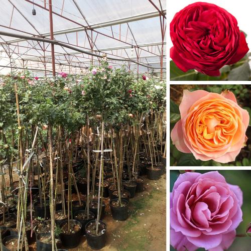 cây hoa hồng thân gỗ lùn cao