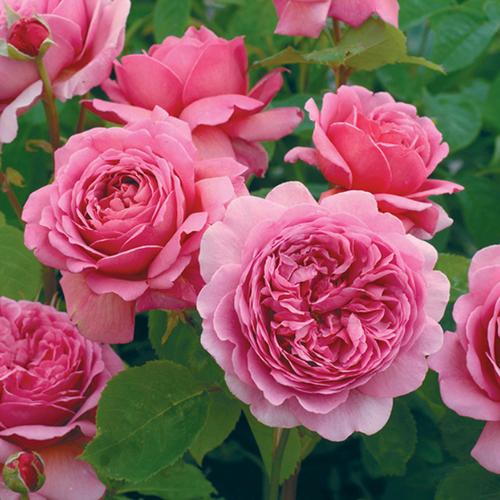 hoa hồng ngoại PRINCESS ALEXANDRA OF KENT
