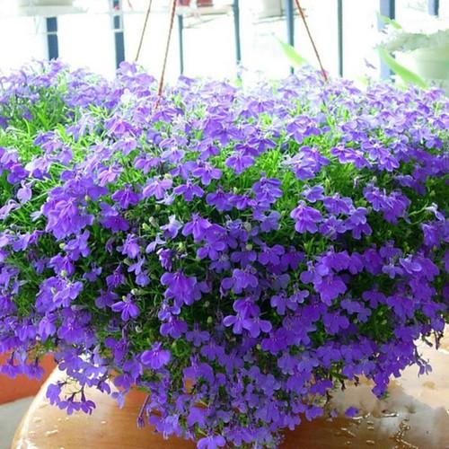 COMBO 10 gói hạt giống hoa cúc Lobelia cánh bướm TẶNG 1 phân bón - 4542389 , 13214667 , 15_13214667 , 189000 , COMBO-10-goi-hat-giong-hoa-cuc-Lobelia-canh-buom-TANG-1-phan-bon-15_13214667 , sendo.vn , COMBO 10 gói hạt giống hoa cúc Lobelia cánh bướm TẶNG 1 phân bón