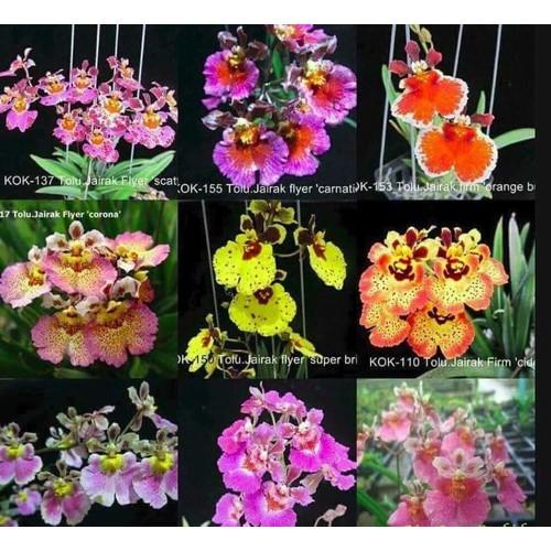 4 cây giống Hoa lan vũ nữ bút chì - 11162683 , 13225528 , 15_13225528 , 120000 , 4-cay-giong-Hoa-lan-vu-nu-but-chi-15_13225528 , sendo.vn , 4 cây giống Hoa lan vũ nữ bút chì