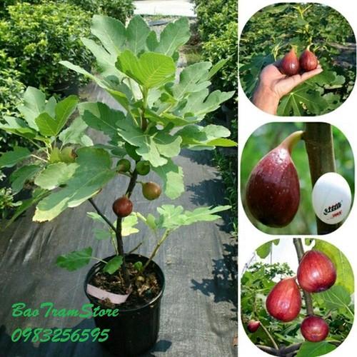 Hạt giống cây sung Mỹ ngọt gói 10 hạt xuất xứ Mỹ - 5145978 , 8463904 , 15_8463904 , 15000 , Hat-giong-cay-sung-My-ngot-goi-10-hat-xuat-xu-My-15_8463904 , sendo.vn , Hạt giống cây sung Mỹ ngọt gói 10 hạt xuất xứ Mỹ