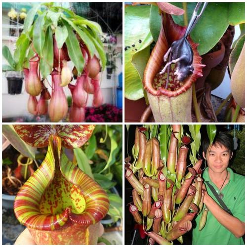 Hạt giống cây nắp ấm - 5390460 , 9008108 , 15_9008108 , 50000 , Hat-giong-cay-nap-am-15_9008108 , sendo.vn , Hạt giống cây nắp ấm