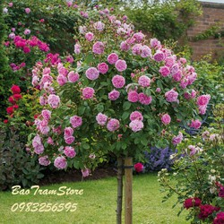 Hạt giống hoa hồng thân gỗ gói 5 hạt xuất xứ Đức