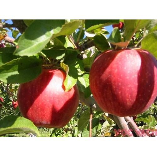bộ sản phẩm hạt giống táo tây táo đỏ lùn  f1 - 5350132 , 8917341 , 15_8917341 , 125000 , bo-san-pham-hat-giong-tao-tay-tao-do-lun-f1-15_8917341 , sendo.vn , bộ sản phẩm hạt giống táo tây táo đỏ lùn  f1