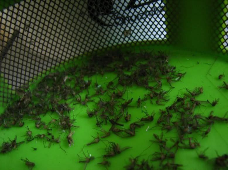 Đèn bắt muỗi- 0965011567 6