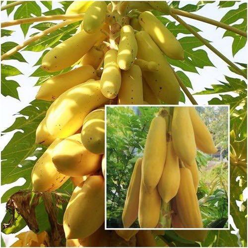 10 gói Hạt giống Đu đủ da vàng tặng 1 Phân bón  và 1 Kích mầm