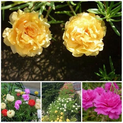 Hạt giống hoa mười giờ Mỹ kép Mix nhiều màu nhập khẩu Đức gói 100 hạt