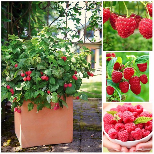 Hạt giống quả mâm xôi đỏ - phúc bồn tử đỏ gói 30 hạt - 4993658 , 9013459 , 15_9013459 , 35000 , Hat-giong-qua-mam-xoi-do-phuc-bon-tu-do-goi-30-hat-15_9013459 , sendo.vn , Hạt giống quả mâm xôi đỏ - phúc bồn tử đỏ gói 30 hạt