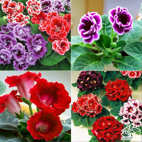 Hạt giống hoa Tử La Lan mix nhiều màu nhập khẩu Đức gói 5 hạt