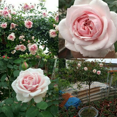 hạt giống hoa hồng vân khôi - 5402540 , 9030628 , 15_9030628 , 65000 , hat-giong-hoa-hong-van-khoi-15_9030628 , sendo.vn , hạt giống hoa hồng vân khôi