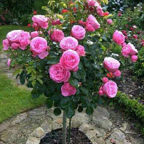 Hạt giống hoa hồng thân gỗ gói 5 hạt nhập khẩu Đức - 5561901 , 9366226 , 15_9366226 , 50000 , Hat-giong-hoa-hong-than-go-goi-5-hat-nhap-khau-Duc-15_9366226 , sendo.vn , Hạt giống hoa hồng thân gỗ gói 5 hạt nhập khẩu Đức