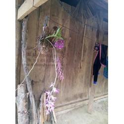 phong lan tím